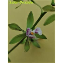 Encyclia mooreana (FS)