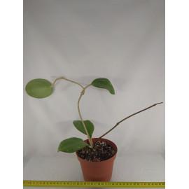 Hoya loyceandrewsiana