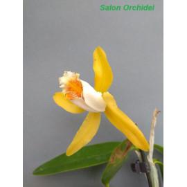 Cattleya forbesii aurea (FS)