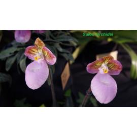Paphiopedilum micranthum (FS)