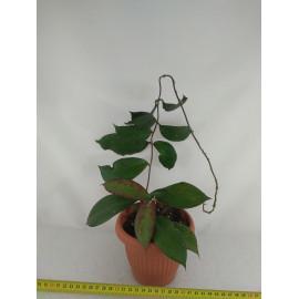 Hoya sp.Gunung Gading