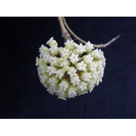 Hoya vitellinoides