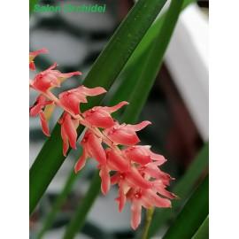 Dendrochilum wenzelii Red (FS)