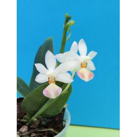 Phalaenopsis (wilsonii x...