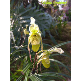 Phragmipedium pearcei (FS)
