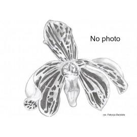 Bulbophyllum falcatum var...