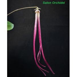 Bulbophyllum plumatum (FS)