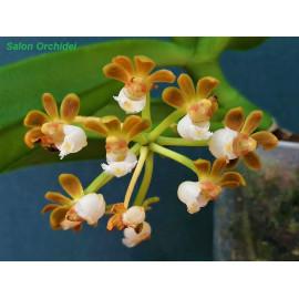 Gastrochilus rutilans (FS)