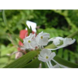 Podangis dactyloceras (FS)