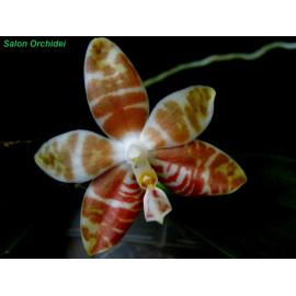 Phalaenopsis amboinensis (FS)