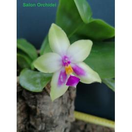 Phalaenopsis (Yaphon...