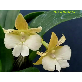 Dendrobium aberrans x...