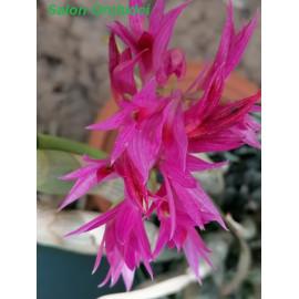 Dendrobium miyakei x...