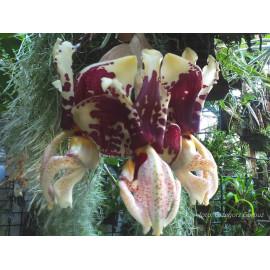 Stanhopea tigrina (FS)
