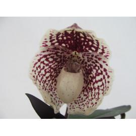 Paphiopedilum leucochilum (FS)