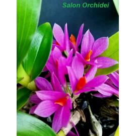 Dendrobium Hibiki (FS)