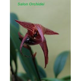 Bulbophyllum vanvuurenii (FS)