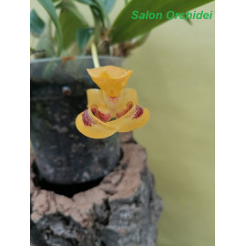 Bulbophyllum dearei (FS)