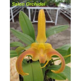 Bulbophyllum lobbii (Java)...