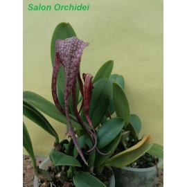 Bulbophyllum longisepalum (FS)