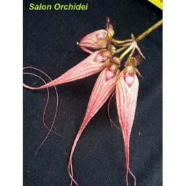 Bulbophyllum Elizabeth Ann...