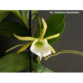 Angraecum eichlerianum (NFS)