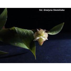 Dendrobium acinaciforme (FS)