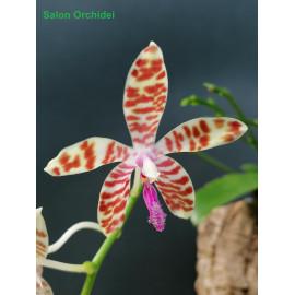 Phalaenopsis speciosa Solid...