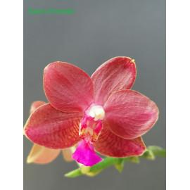 copy of Phalaenopsis mannii...