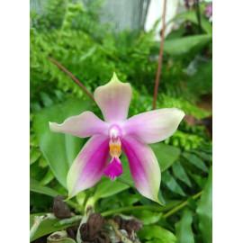 Phalaenopsis violacea Krull...