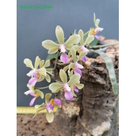 Phalaenopsis lindenii x...