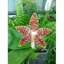 Phalaenopsis speciosa pink...