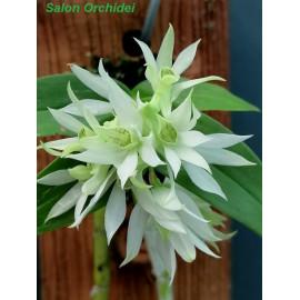Dendrobium cuspidatum (FS)