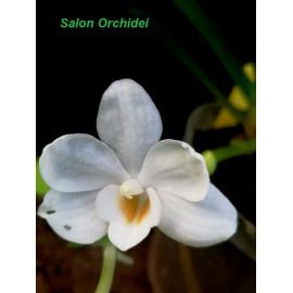 Amesiella philippinensis (FS)