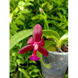 Phalaenopsis x valentinii...