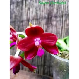 Phalaenopsis (javanica x...
