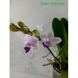 Phalaenopsis Tzu Chiang...