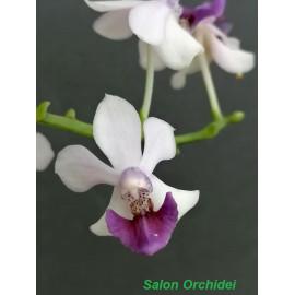 Phalaenopsis Memoria Val...