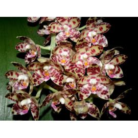 Phalaenopsis gigantea (NFS)
