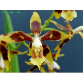 Oncidium portmannii (FS)