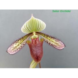 Paphiopedilum superbiens (FS)