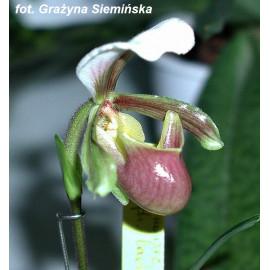 Paphiopedilum barbigerum (FS)