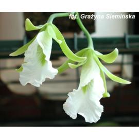 Encyclia (Euchile) mariae...