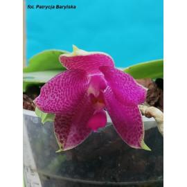 Phalaenopsis Gigabell...