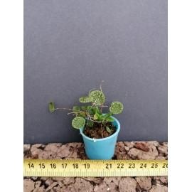 Lepanthes calodictyon (FS)