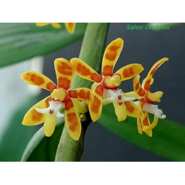 Trichoglottis orchidea (FS)