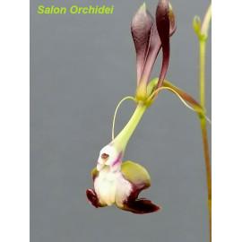 Epidendrum melanoporphyreum...