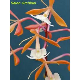 Epidendrum embreei x...