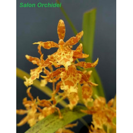 Oncidium chrysomorphum (FS)