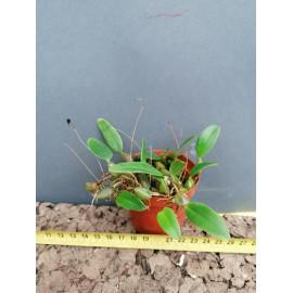 Bulbophyllum bolsteri (FS)